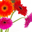 Gerberas — Stock Photo