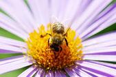 Blomma och bee — Stockfoto