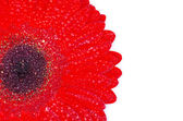Red gerbera flower — Foto Stock