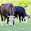 Stock Photo: Cows on meadow
