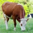 Cow on meadow — Stock Photo #5908095