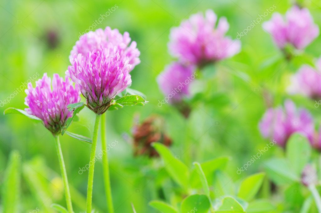 Red flower clovers on green background  Stock Photo #6645137