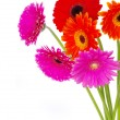 Flowers gerberas — Stock Photo