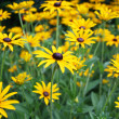 Yellow flowers in a garden — Stockfoto