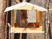 Squirrel — Stock Photo