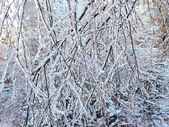 Ice-covered branches — Stock Photo