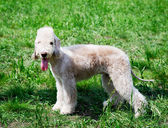 Bedlington terrier standing — Stock Photo