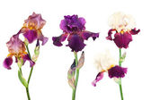 Three kinds of irises — Stock Photo