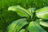 Dieffenbachia — Stock Photo