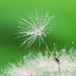 Close-up of wet dandelion seed with drops — Stock Photo #5996106