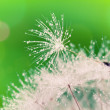 Close-up of wet dandelion seed with drops — Stock Photo #5996136
