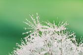 Close-up of wet dandelion seed with drops — Stock Photo