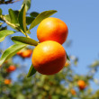 Solar tangerines — Stock Photo #5651661