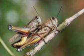 Grasshoppers couple — Stock Photo
