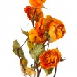 Stock Photo: Orange dry roses