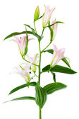 Pink lily — Stock Photo