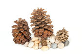 Cones of pine — Stock Photo