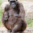 Gorilla — Stock Photo #5630923