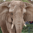 Stock Photo: Portrait of elephant