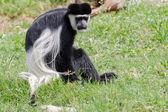 Monkey — ストック写真