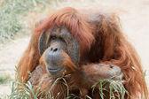 Orangutang — Foto Stock
