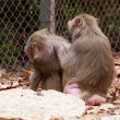 Baboons — Photo