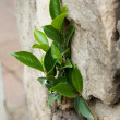 Royalty-Free Stock Photo: Plant in a stone