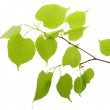 Branch of a birch — Stock Photo