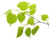 Branch of a birch — Stock Photo
