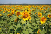 Beautiful sunflowers field — Stockfoto