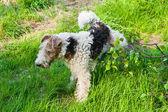 Dog peeing — Stockfoto
