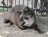 Sleeping tapir — Stock Photo