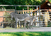 Family of zebras — Stock Photo