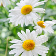 Daisy — Stock Photo #5858129