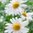 Daisy — Stock Photo #5858245