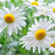Stock Photo: Daisy