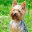 Yorkshire terrier — Stock Photo #6017931