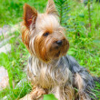Yorkshire terrier — Stock Photo #6017933