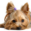 Yorkshire terrier — Stock fotografie #6017960