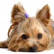 yorkshire terrier — Foto Stock #6017960