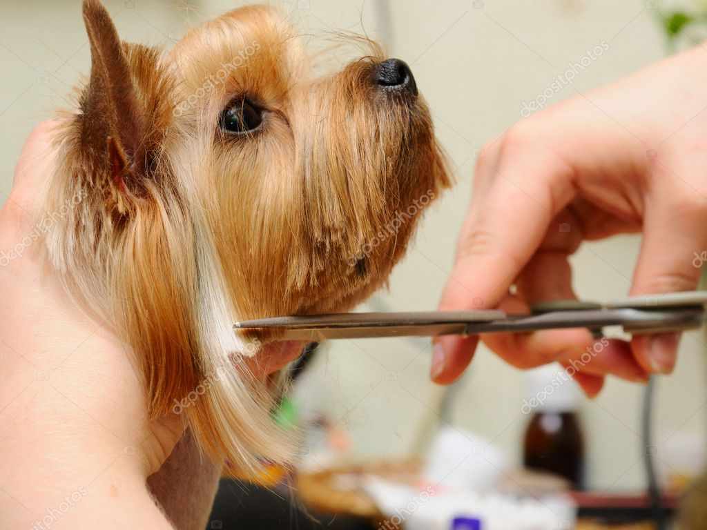 Yorkshire terrier  getting his hair cut at the groomer — Stock fotografie #6017942
