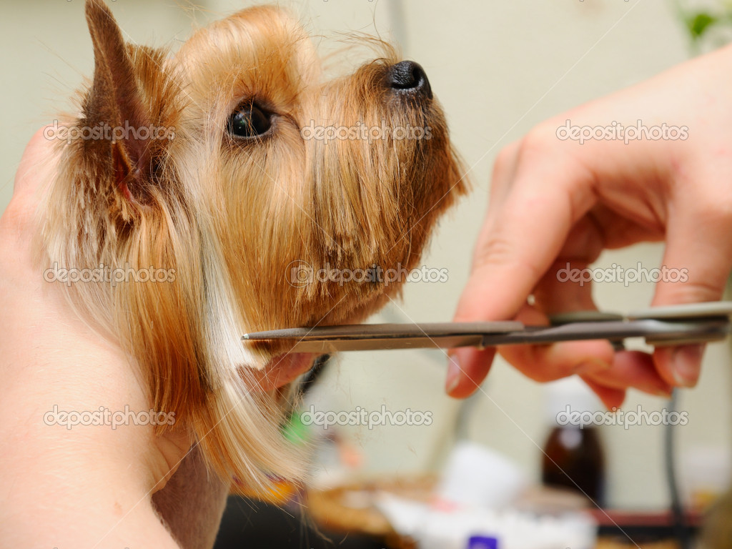 Yorkshire terrier  getting his hair cut at the groomer — Stok fotoğraf #6017942