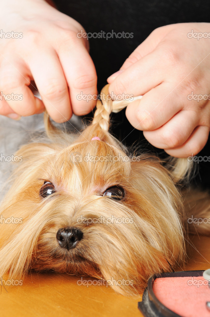Yorkshire terrier getting his hair cut at the groomer — Stock Photo #6017947
