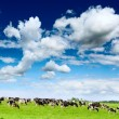 Herd cows — Stock Photo