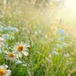 Daisy field — Stock Photo #6642860