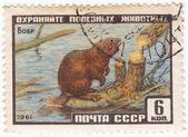 Beaver — Stockfoto