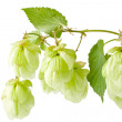 Hop isolated on white background — Stock Photo #6646380