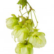 Hop isolated on white background — Stock Photo #6681153