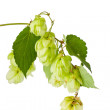 Hop isolated on white background — Stock Photo #6681190