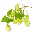 Hop isolated on white background — Stock Photo #6681191